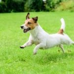 Jack Russell Terrier running in order to answer how fast can a dog run