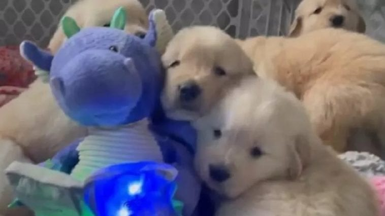 golden retriever puppies relaxing with toy