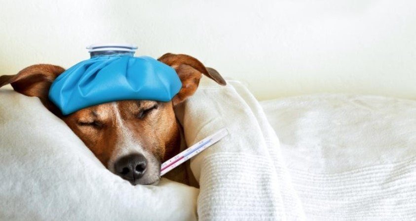 Picture of an sick dog in order to answer the question can dogs get fevers