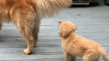 puppy looking at golden retriever's tail