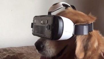 golden retriever experiencing virtual reality