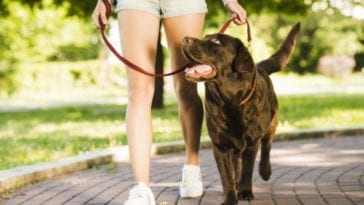Picture of walking a dog in order to answer how often do you walk your dog?