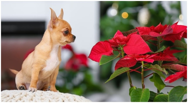 A small dog sitting next to red flowers while his owner wonders Are Poinsettias Poisonous To Dogs