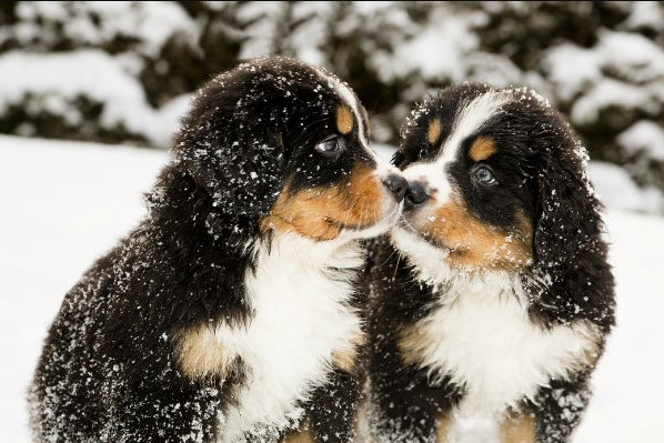 Bernese mountain dog puppies kissing