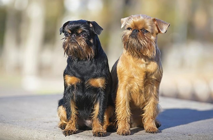 Brussels Griffon family dog