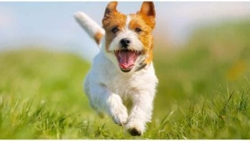 Adorable dog running around fields of grass while his owner wonders can dogs have ADHD