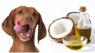 A dog owner trying to decide is coconut oil good for dogs?