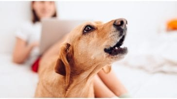 Dog owner sitting at her laptop annoyed wondering do dogs get tired of barking