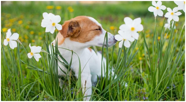 Dog sniffing on flowers while his owner wonders about the Claritin side effects