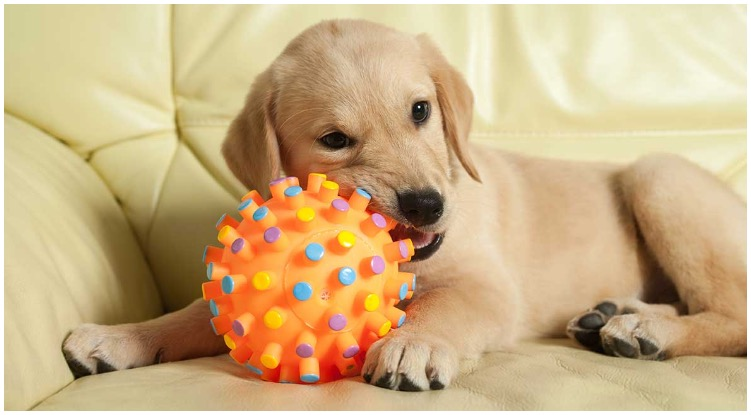 An adorable golden retriever puppy chewing on his dog toys