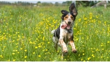 Dog running around fields of grass while his owner is wondering about allergy medicine for dogs
