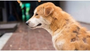 Dog loosing its fur all over the place while his owner wonders how do dogs get mange