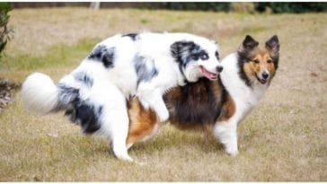 Two dogs jumping on each other while their owners wonder how long does a dog's heat last