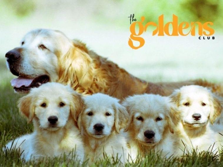 Golden Retriever puppies for sale in Canada
