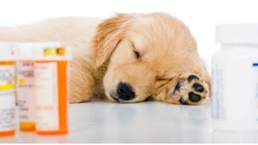 A golden retriever napping on the table while his owner is figuring out is Tramadol for dogs safe