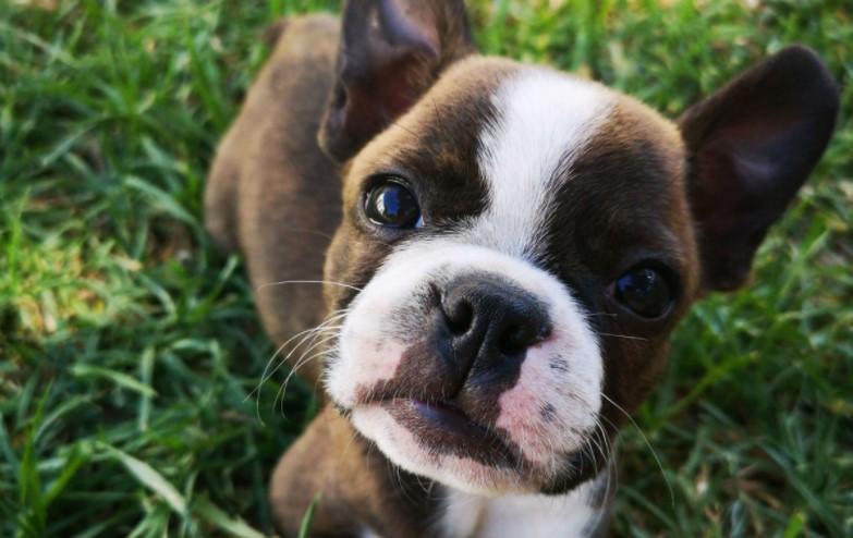 Boston Terrier in grass