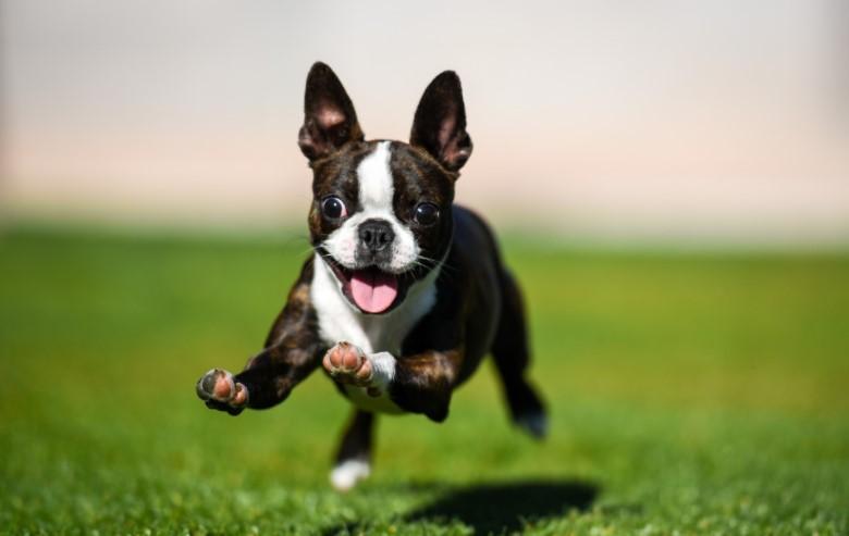 Boston Terrier jumping