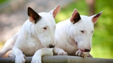A picture of two Bull Terriers