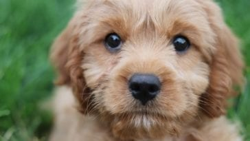 A picture of a Cavapoo full grown