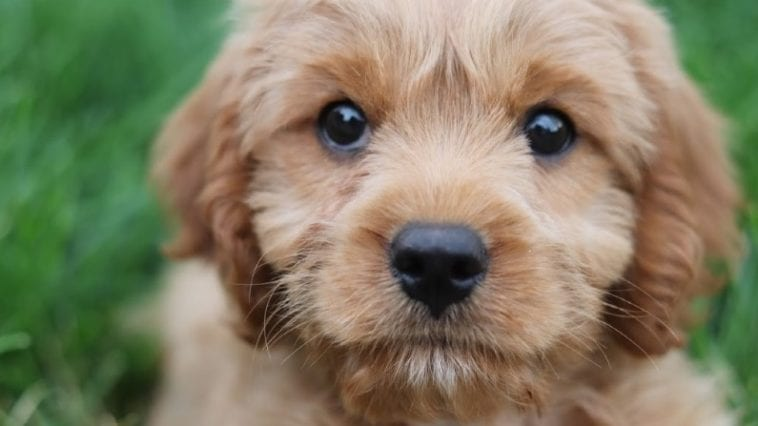 A picture of a Cavapoo dog