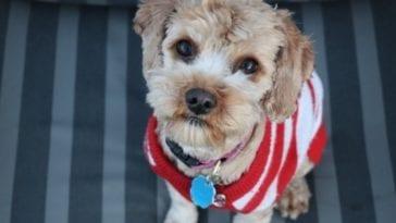 Dog wearing Cheap dog clothes