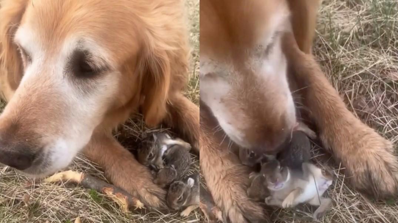golden retriever saved baby bunnies