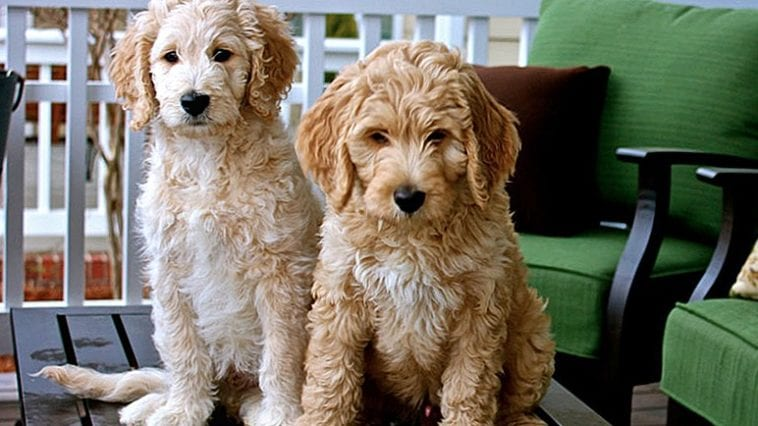 A picture of two Golden Doodle dogs