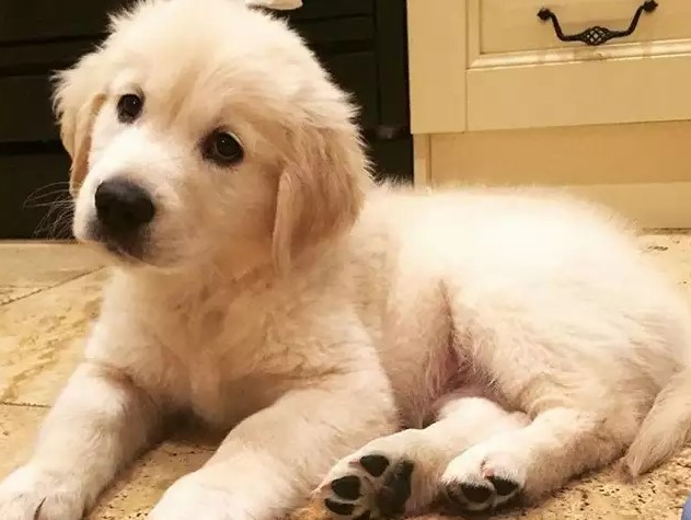 golden retriever best puppy for kids