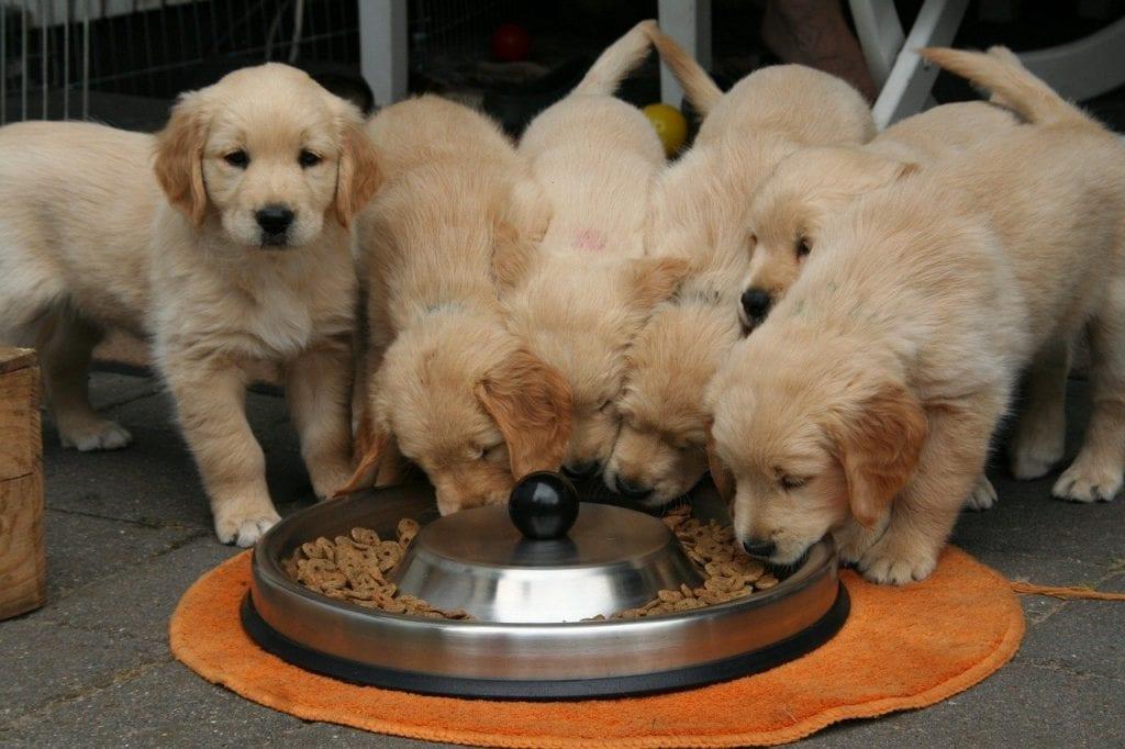 Golden Retriever Puppies For Sale In Australia