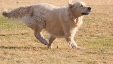 How Fast Can A Golden Retriever Run