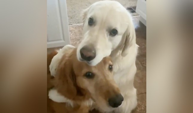 golden retriever hugging his brother after stealing his food