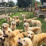 you can pay to play with this group of golden retrievers