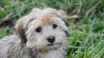 Havanese Dog