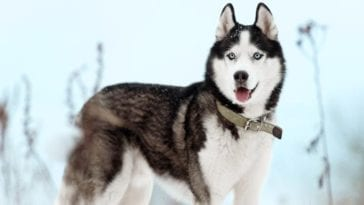 A picture of a Husky