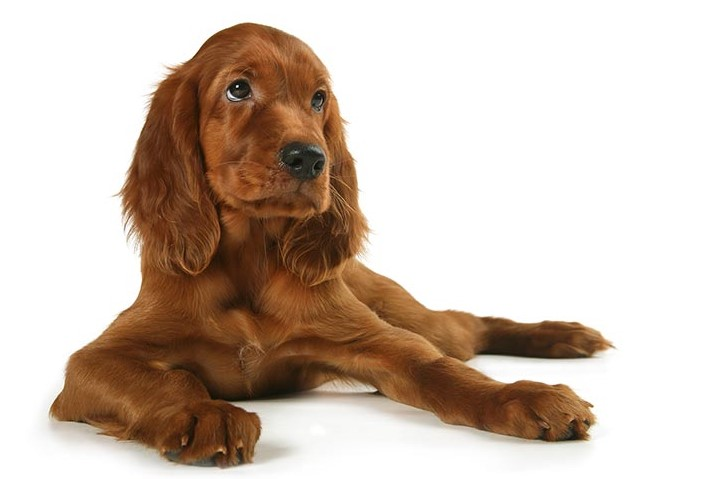 irish setter is great dog for kids