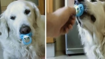 golden retriever loves to play with his pacifier
