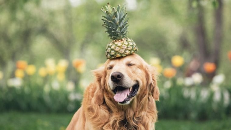 Dog with pineapple in order to answer Is pineapple good for dogs