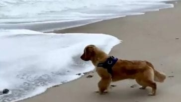 golden retriever scared of waves