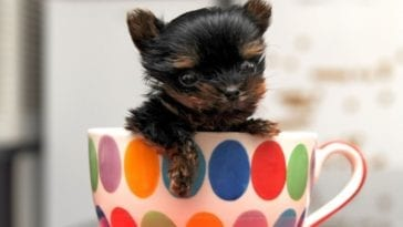 Picture of teacup dogs