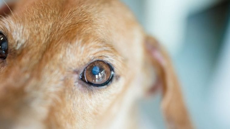 A picture of a dog's eye in order to answer why are my dogs eyes watery?