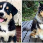 Two absolutely adorable and cute Bernese Mountain Dog Husky Mix puppies