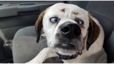 Dog owner wondering about the reason why his dog is a cross eyed dog