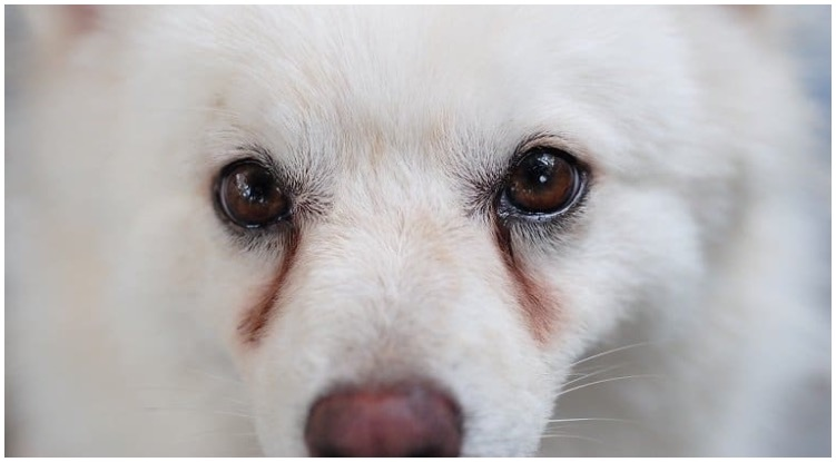 Pretty white dog with red around his eyes while his owner wonders about dog eye discharge
