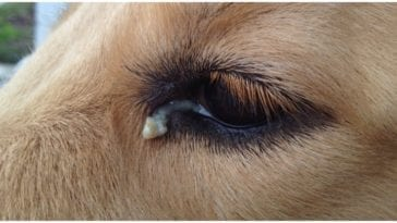 Dog owner wondering about the weird dog eye goop coming from his eye