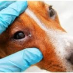 Cute canine at the doctor for his dog eye infection treatment