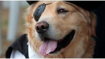 Golden retriever wearing a fancy dog eye patch