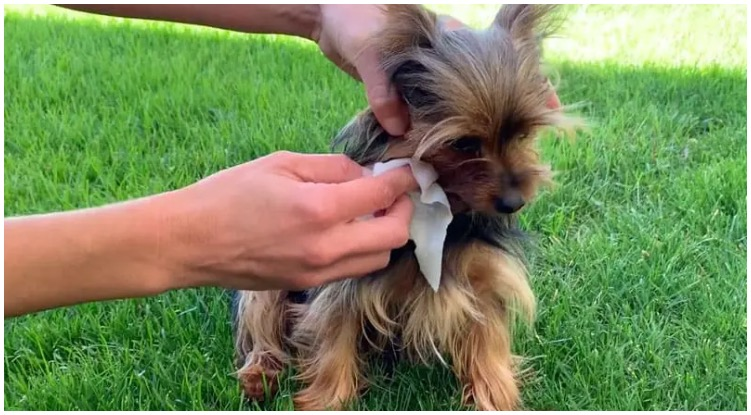 Dog owner cleaning his dog's eyes with dog eye wipes