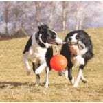 Two adorable canines joyfully playing with dog balls