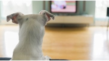 Dog staring at the television while the owner wonders can dogs watch TV