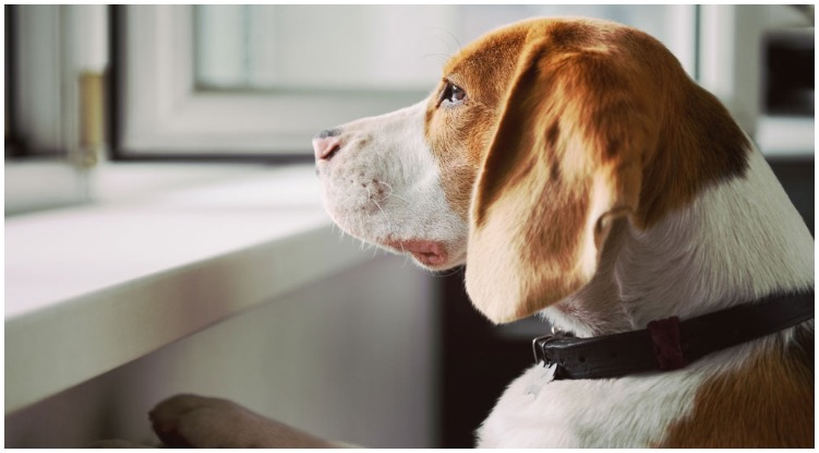 Canine experiencing major separation anxiety while his owner wonders about reconcile for dogs